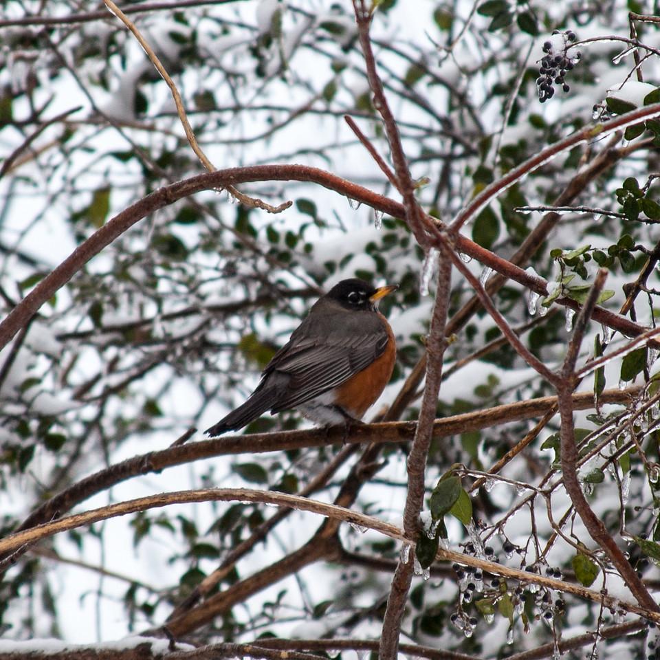 Robin in the snow, Sherwood, AR