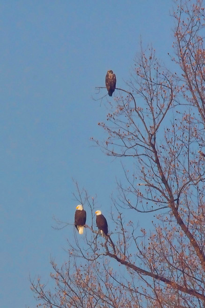 <b>3 ealges in a tree at Charles Island Park</b>