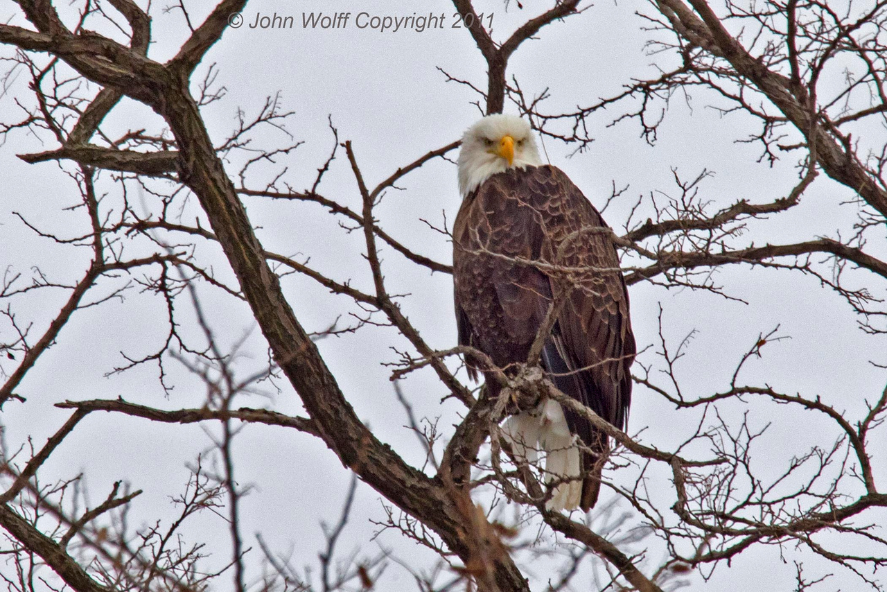 Mature Eagle at Verplanck 1-11-2011