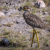 Spotted thick-knee (Burhinus capensis), Amboseli National Park, Kenya, East Africa