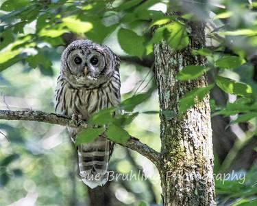 Barred Owl - July 16, 2021