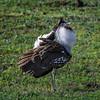 Male Kori bustard (Ardeotis kori) putting on his best mating display, Ngorongoro Crater, Tanzania, East Africa