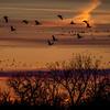Sandhill Cranes over the Platte River, Nebraska