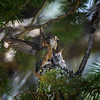 Caliope Hummingbird feeding her young, Rising Sun Campground, Glacier National Park, Montana