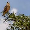 Tawny eagle (Aquila rapax) in acacia tree, Masai Mara, Kenya, East Africa