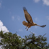 Tawny eagle (Aquila rapax) in flight, Masai Mara, Kenya, East Africa