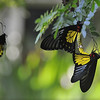 Butterfly Voyeourism