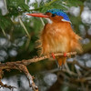 Malachite kingfisher (Alcedo cristata) in an acacia tree, Amboseli National Park, Kenya, East Africa
