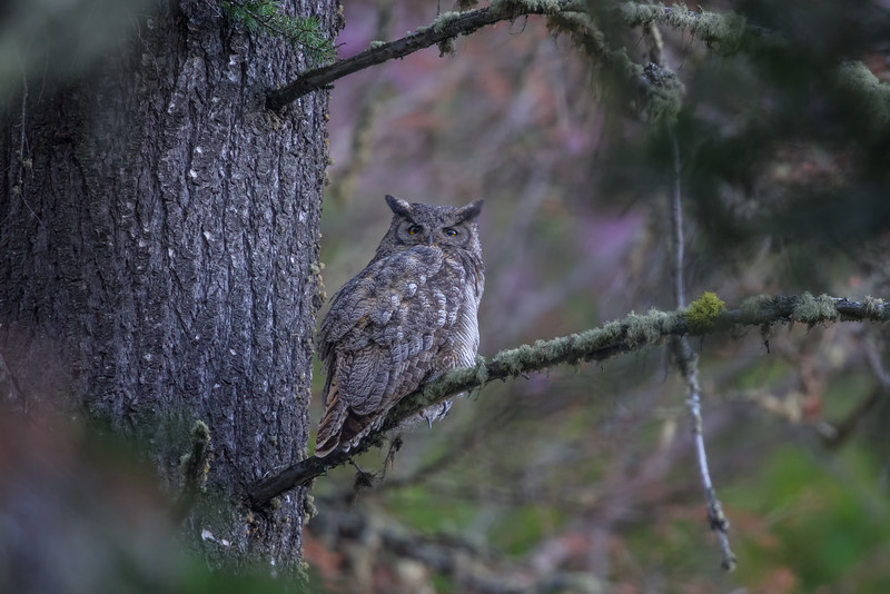 Great Horned Owl, Rising Sun Campground, Glacier National Park, Montana
