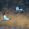 Two Sandhill Cranes (Grus canadensis) at sunrise over the Platte River, Nebraska (slow shutter speed)