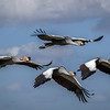 Grey crowned cranes (Balearica regulorum) in flight over Amboseli National Park, Kenya, East Africa