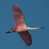 "Roseate spoonbill (Platalea ajaja) in flight at J. N. ""Ding"" Darling National Wildlife Refuge, Sanibel Island, Florida"