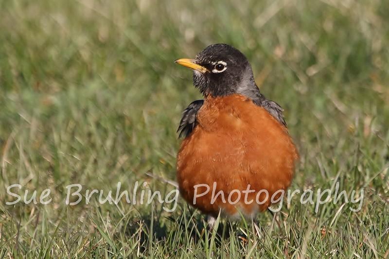 Decorah Robin 4.15.16