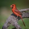 Male Cardinal (Cardinalidae) in South Texas