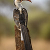 Red-billed hornbill (Tockus erythrorhynchus) at Tarangire National Park, Tanzania, East Africa