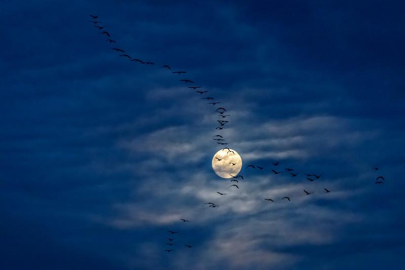Sandhill cranes flying in front of the moon along the Platte River, Nebraska
