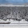 Sandhill Cranes on a snowy sand bar in the Platte River in the early morning near Wood River, Nebraska