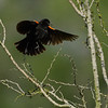 Red-winged blackbird (Agelaius phoeniceus) in flight, South Texas