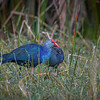Purple Swamphen (Porphyrio) and chick at Harns Marsh, Fort Myers, Florida