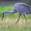 Sandhill Crane (Grus canadensis) at Harns Marsh, Fort Myers, Florida