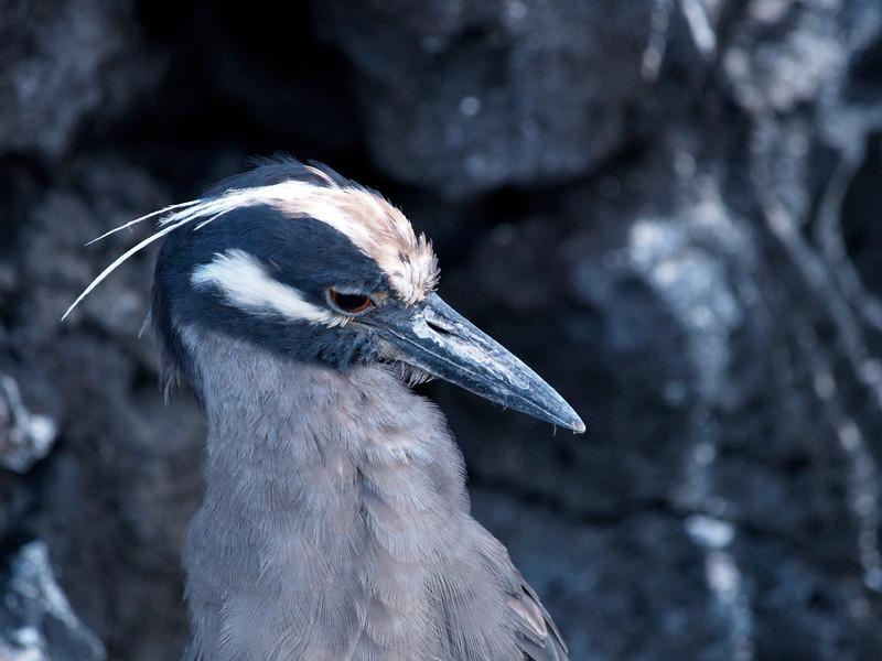 Night heron, Galapagos