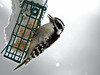 Downy woodpecker, Burlington Vermont