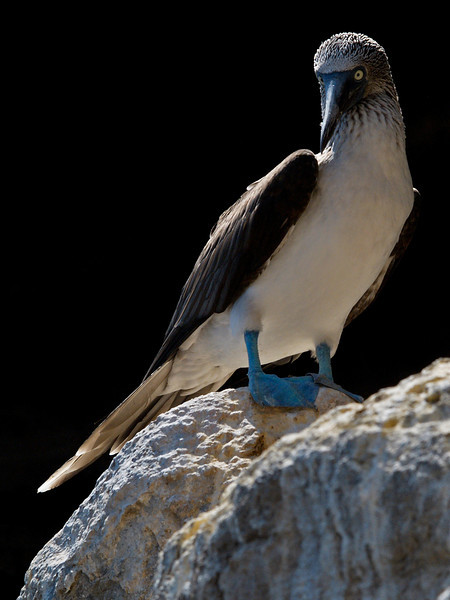 Blue foot booby
