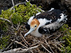 Frigate bird chick, Galapagos Islands