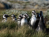 Penguins on the Pampas, Patagonia