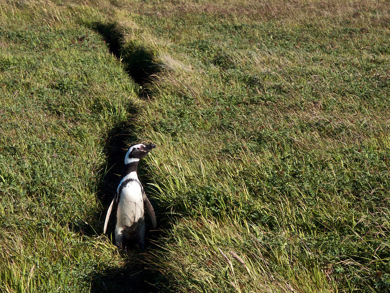 Penguins' path to the sea