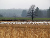 Migrating snow geese, Dead River, Addison Vermont