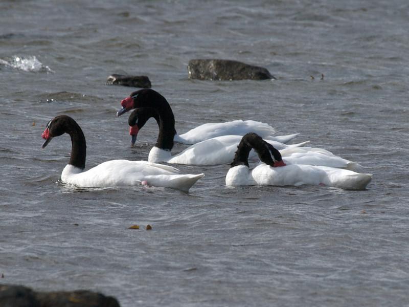 Black necked swans, Patagonia