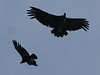 Chilean Condors, Patagonia