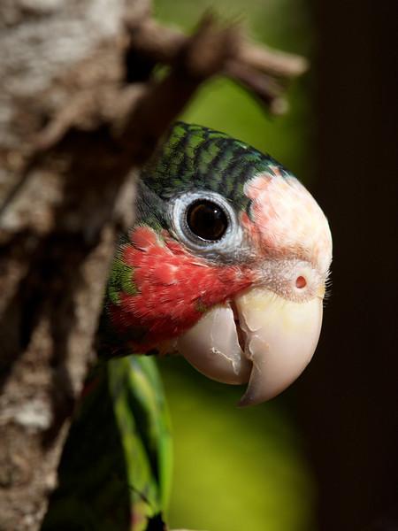 Cayman Parrot