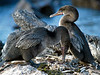 Flightless cormorants, Galapagos Islands