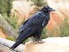 Raven, Bryce Canyon