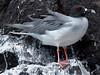 Gull, Galapagos Islands