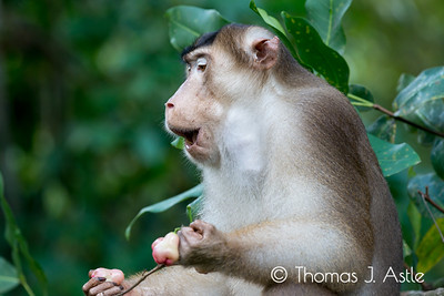 Male southern pig-tailed macaque (Macaca nemestrina) enjoying water apples.