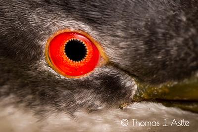 Eye of a western grebe (Aechmophorus occidentalis)
