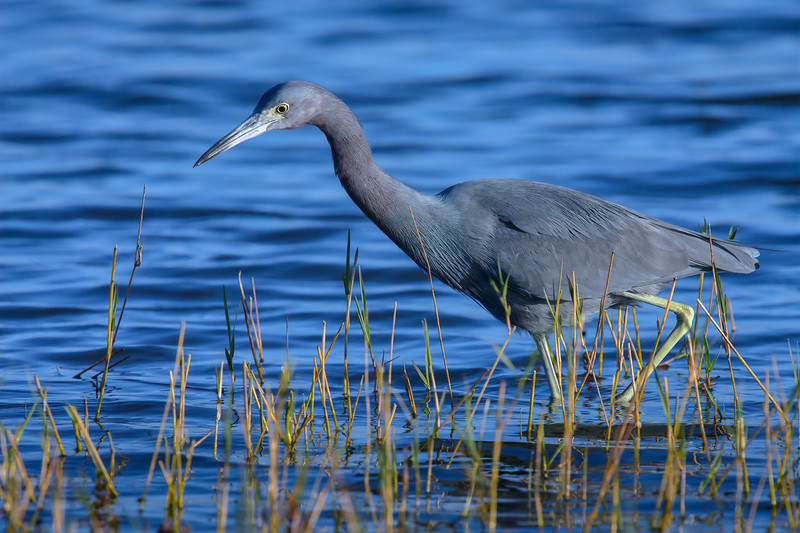 Little blue heron fishing in the morning at Babcock Wildlife Management Area near Punta Gorda, Florida