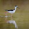 Black-necked stilt at Bailey's Tract, Sanibel Island, Florida