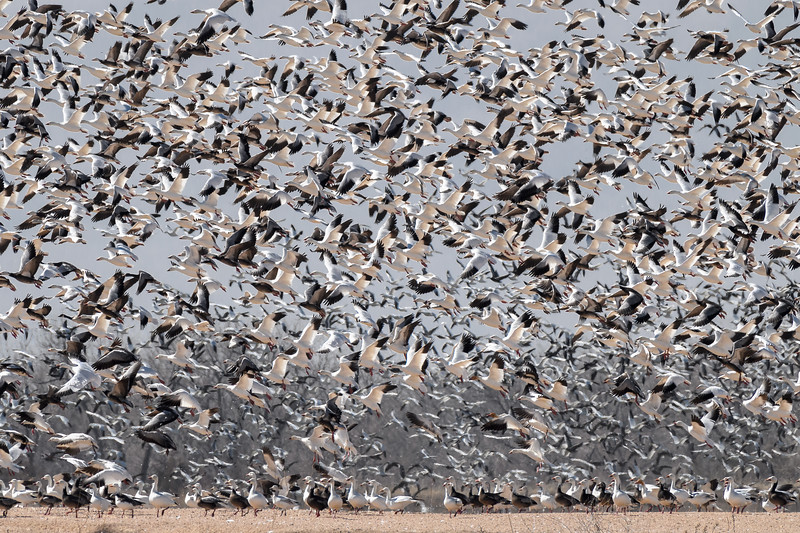 Thousands of Snow Geese (Chen caerulescens) in flight above Kearney, Nebraska