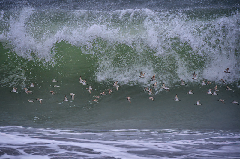Group of Western sandpipers in flight over Rialto Beach in Olympic National Park, Olympic Peninsula, Washington State