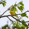 American yellow warbler in tree along the Platte River near Gibbon, Nebraska