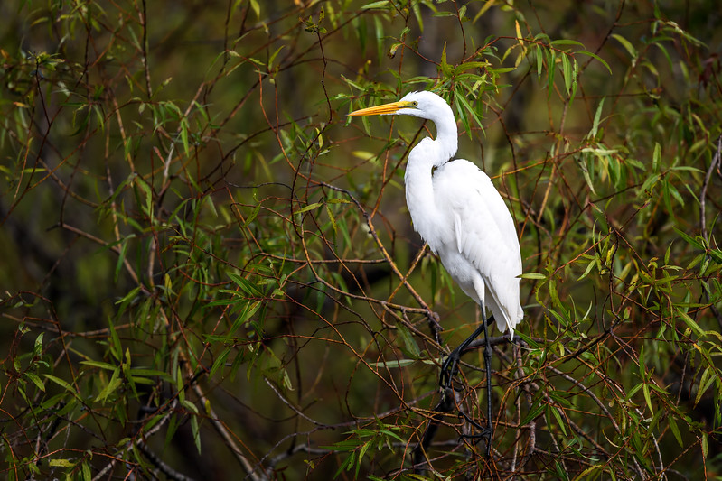 Great egret (Ardea alba) in the brush at Babcock Wildlife Management Area, Punta Gorda, Florida