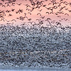Snow geese taking off near Kearney, Nebraska