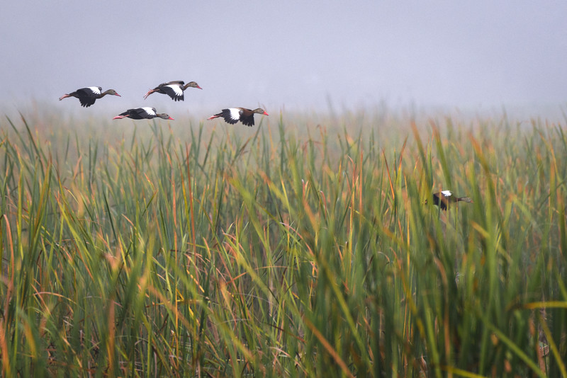 Black-bellied whistling ducks (Dendrocygna autumnalis) in flight at Harns Marsh, Fort Myers, Florida