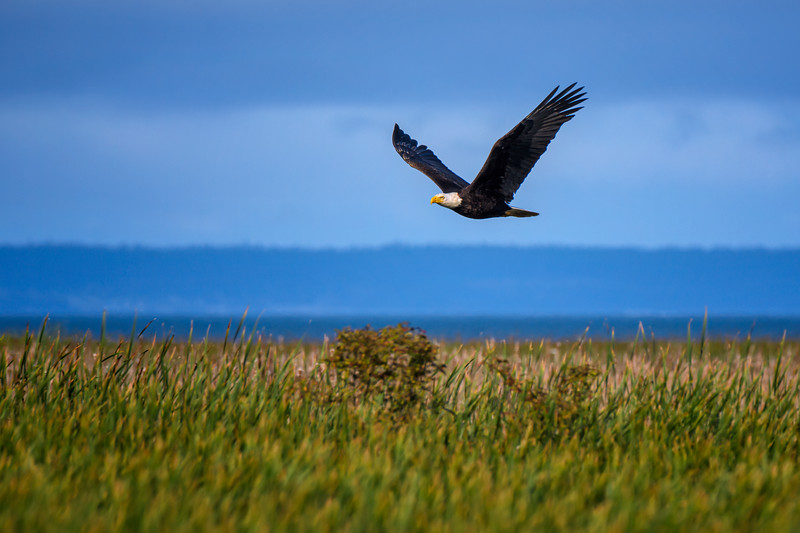 Bald eagle in flight at Wiley Slough, Skagit Valley, Washington State