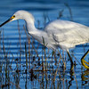 Snowy egret fishing at sunrise at Babcock Wildlife Management Area near Punta Gorda, Florida