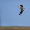 A Common Nighthawk in flight over the Nebraska Sandhills in Fort Niobrara National Wildlife Refuge near Valentine, Nebraska